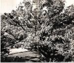 Запорожский дуб