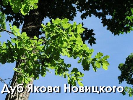 Дуб Новицкого